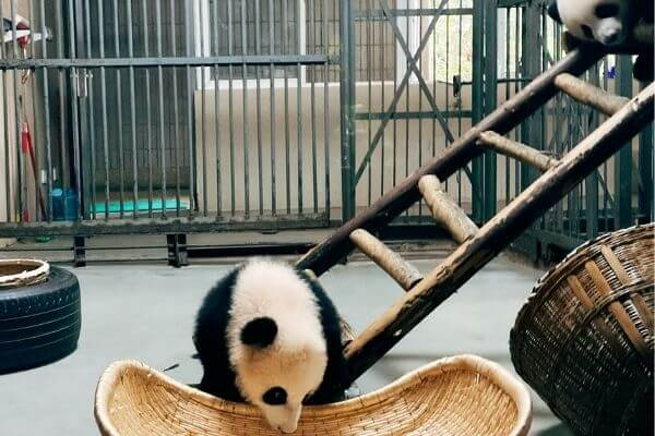 What is the punishment for killing a panda in China